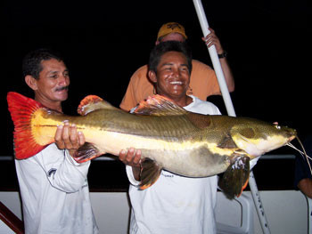 Red Tail catfish in South America